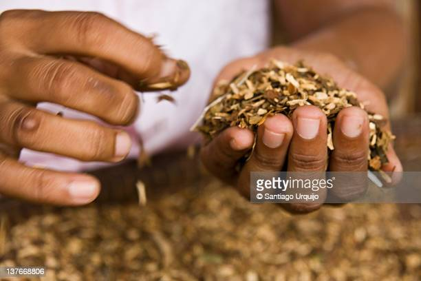 Hands selecting best tobacco leaves