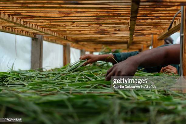 Hands stirring the lemongrass to dry it in a sun-dryer on an organic farm on Septembre 25, 2018 in Bunjako, Central Region, Uganda.