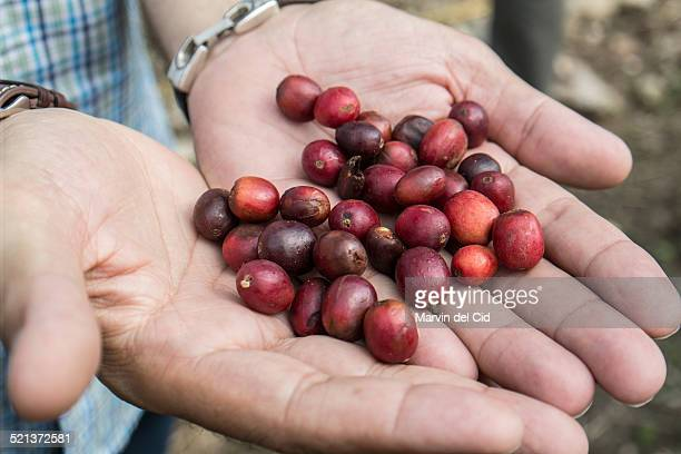 Hands with coffee beans catimor