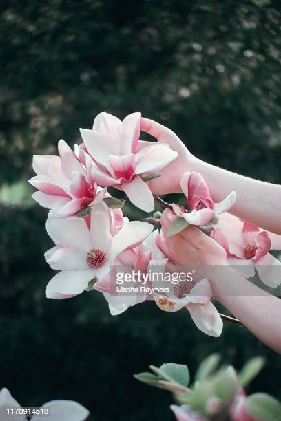 hands with flowers, magnolia blossom, flowers magnolia, pink flower, beauty product - mulan stock pictures, royalty-free photos & images