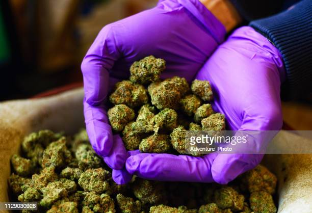 hands with purple latex gloves holding marijuana buds - bud stock pictures, royalty-free photos & images