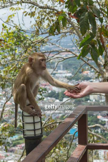 handshake between human hand and monkey - monkey paw stock photos and pictures