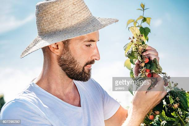 handsome bearded gardener picking raspberry from bush