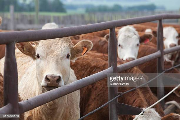 Handsome Cattle