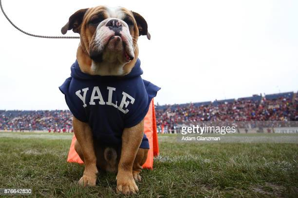 Handsome Dan the Yale University mascot sits on the sideline during a game against the Harvard Crimson at the Yale Bowl on November 18 2017 in New...