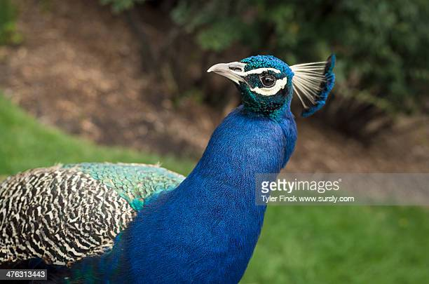 handsome peacock - sursly stock pictures, royalty-free photos & images
