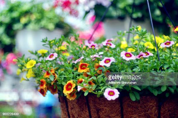 hanging basket of flowers, close-up - hanging basket stock pictures, royalty-free photos & images