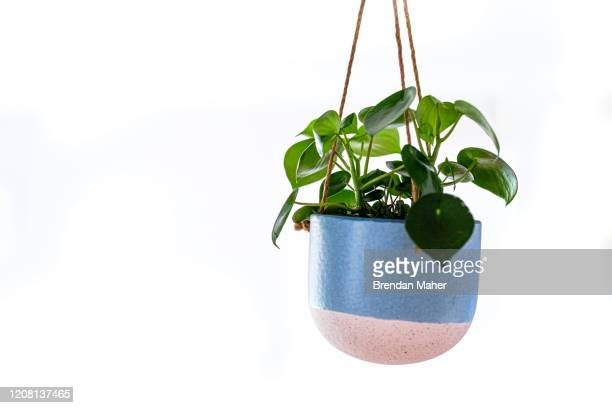 hanging basket pot chinese money plant indoor - hanging basket stock pictures, royalty-free photos & images