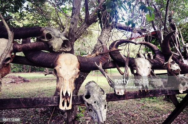 hanging buffalo skulls in komodo island, indonesia - kong: skull island stock pictures, royalty-free photos & images