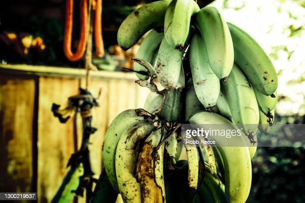 a hanging bunch of organic bananas in costa rica - robb reece stock pictures, royalty-free photos & images