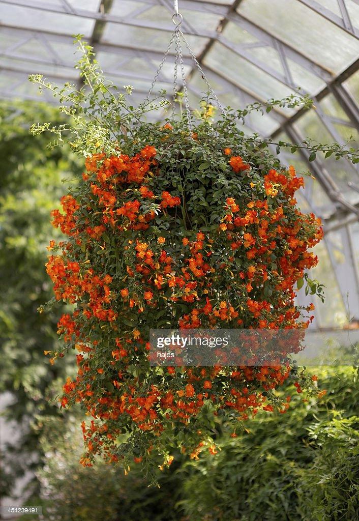 Hanging cluster of orange flowers : Stock Photo