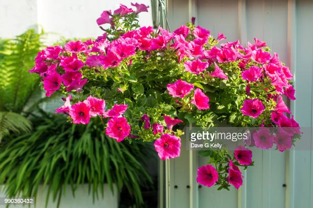 hanging flower basket of petunias - hanging basket stock pictures, royalty-free photos & images