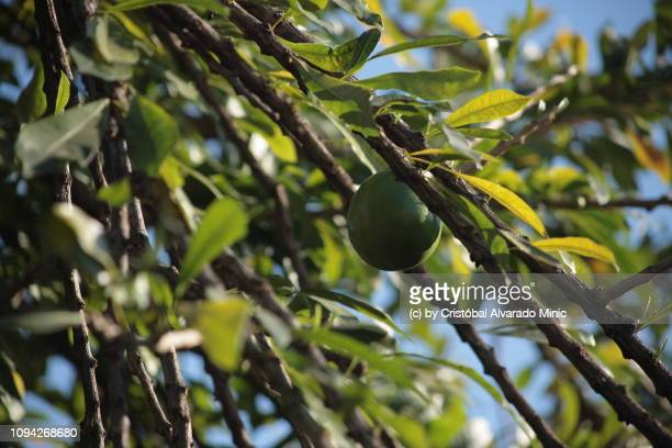 Hanging Fruit of Calabash Tree (Crescentia cujete)