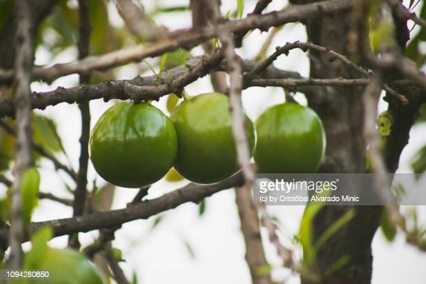 Hanging Fruits of Calabash Tree (Crescentia cujete)