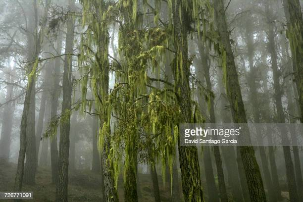 hanging lichens on a canary island pine forest at teide national park, tenerife - spanish moss stock pictures, royalty-free photos & images