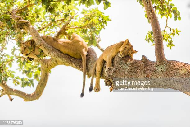 hanging lions in the ishasha sector, queen elizabeth national park, uganda, east africa, africa - queen sleeping stock pictures, royalty-free photos & images