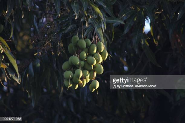 Hanging mangoes (Mangifera indica)