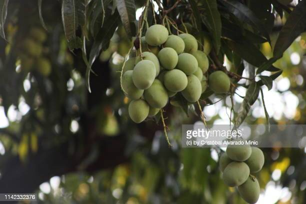 hanging mangoes (mangifera indica) - mango tree stock pictures, royalty-free photos & images