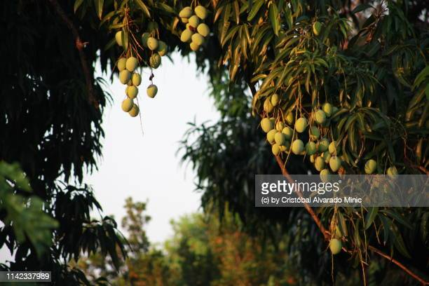 30 Top Mango Tree Pictures, Photos and Images - Getty Images