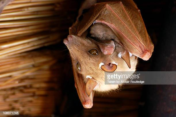 hanging out - bat animal stock photos and pictures
