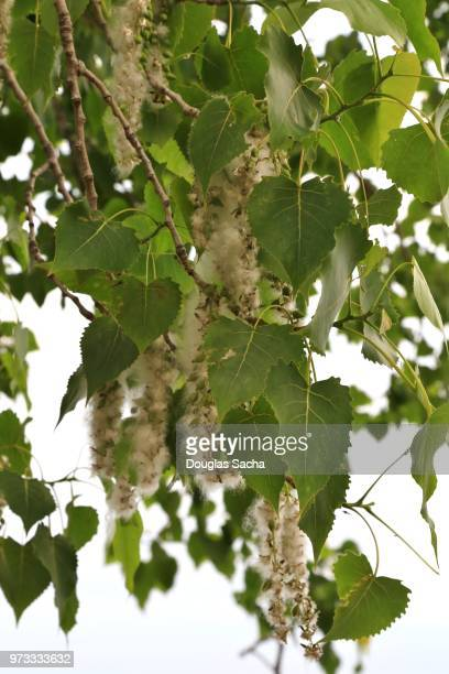 Hanging pollen and seeds from an Eastern Cottonwood Tree (populus deltoides)