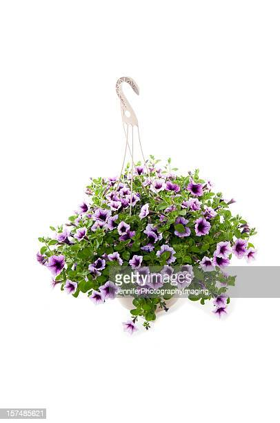 hanging purple petunias isolated on a white background - hanging basket stock pictures, royalty-free photos & images