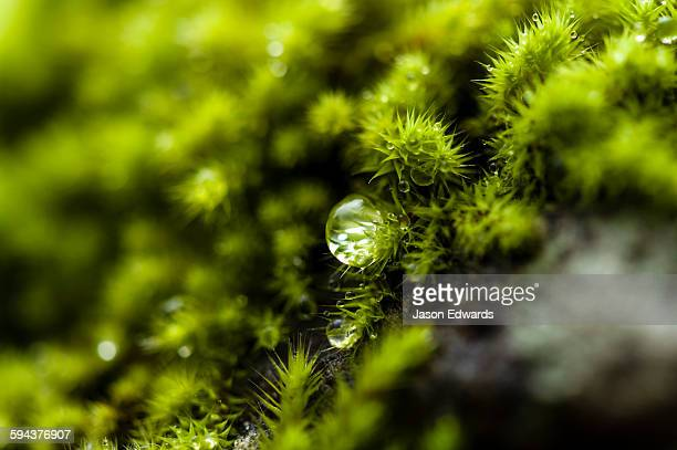 a dew drop hanging from the tip of a moss colony carpeting a boulder. - moos stock-fotos und bilder