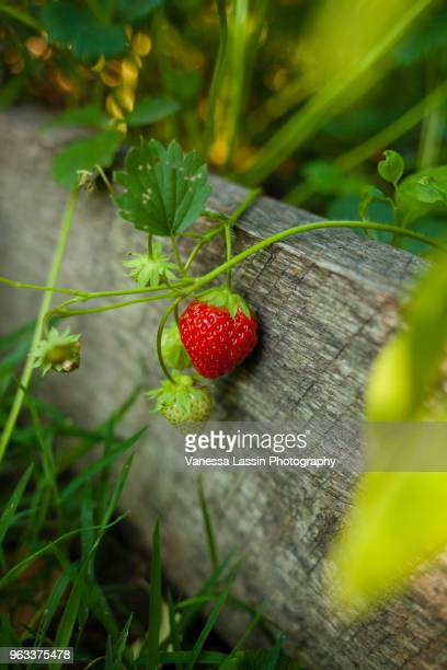 hanging strawberry - vanessa lassin stock-fotos und bilder