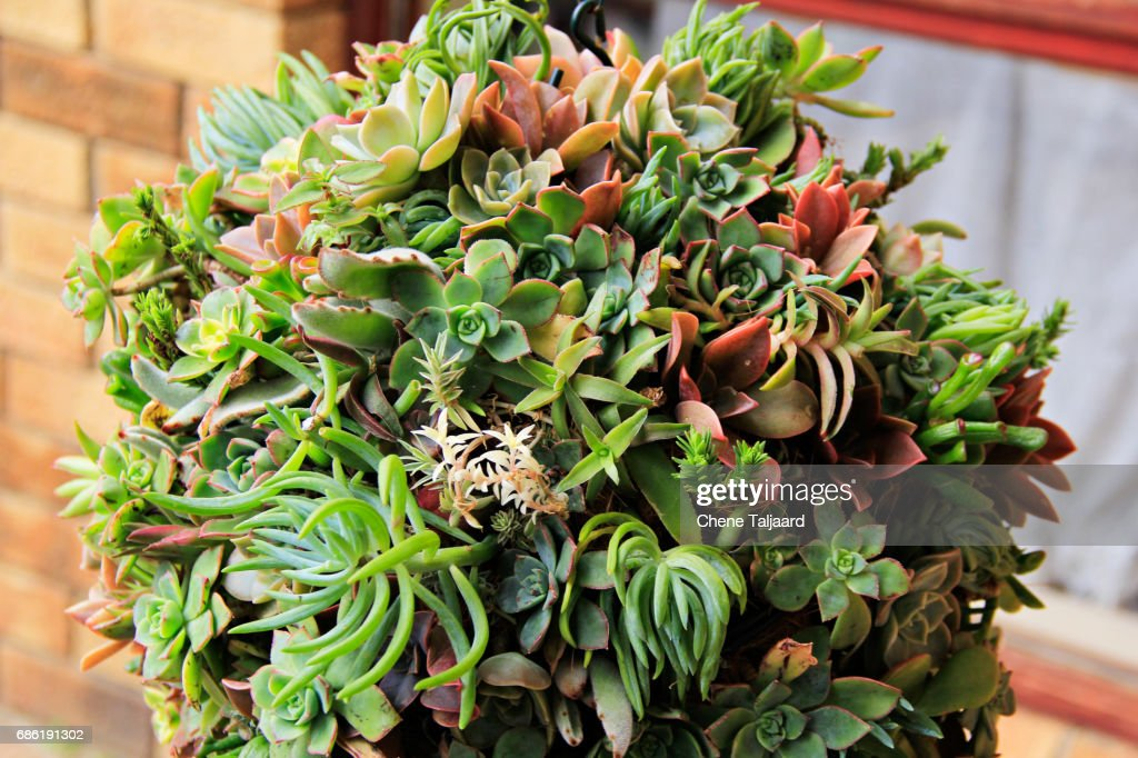 Hanging Succulent Ball High Res Stock Photo Getty Images