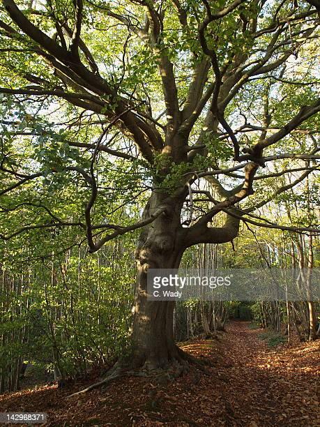 Hangmans Tree