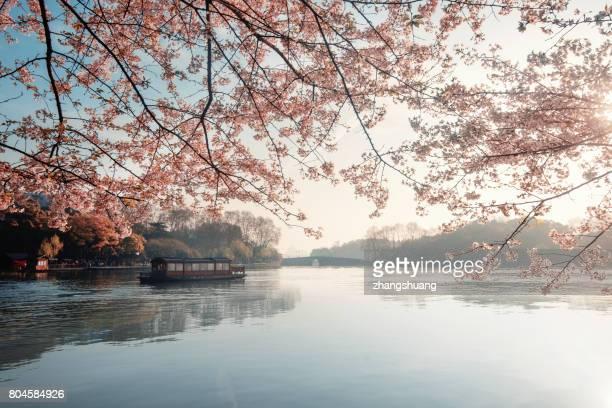 hangzhou cherry season - hangzhou stock photos and pictures