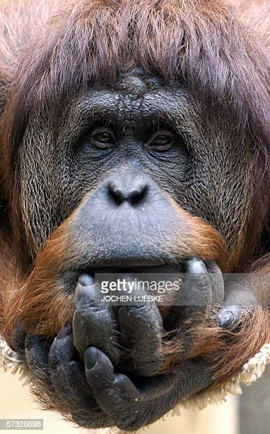 A Sumatran Orang Utan holds his head in his hands as he peers out of his enclosure at the Hanover Zoo 12 April 2006 AFP PHOTO DDP/JOCHEN LUEBKE...
