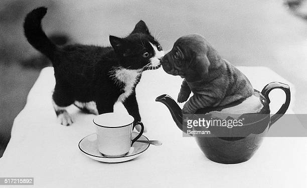 Hans a dachshund puppy kisses a kitty while sitting in a teapot