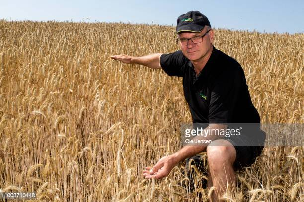 Jan Jensen a small Danish farmer indicates how high his malt barley corn would have been in a normal year on July 21 2018 in Ejby Denmark At his farm...