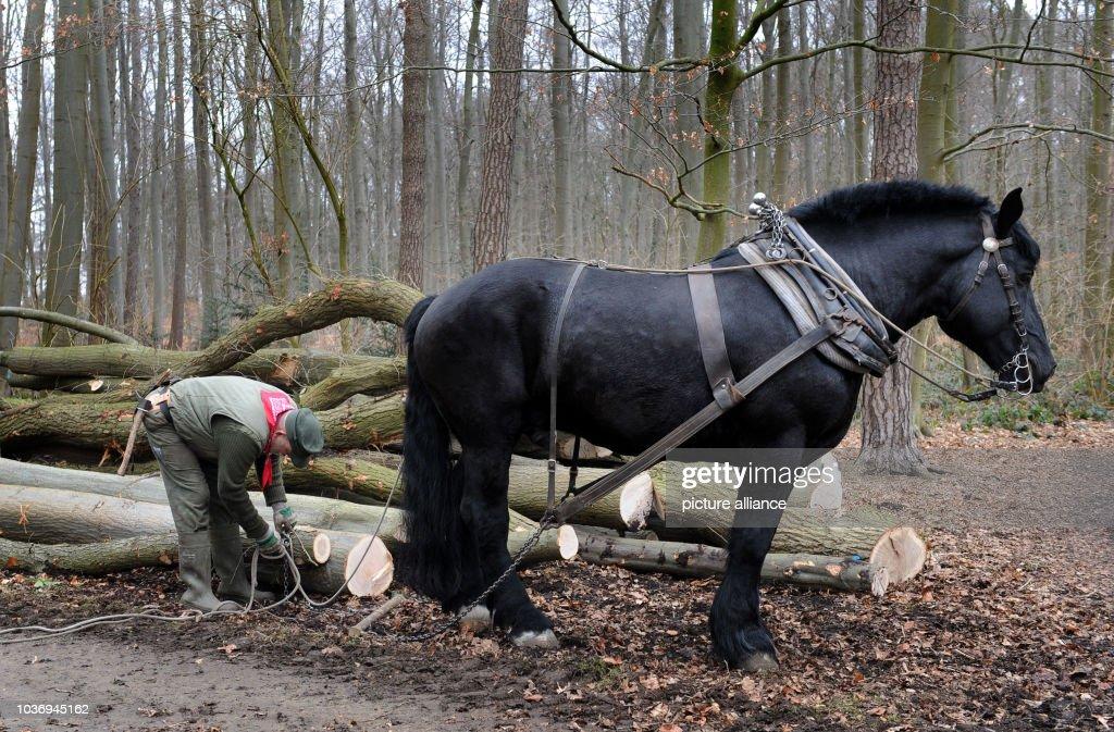 Hans Wilhelm Meier And His French Percheron Stallion Medoc Pull Logs Fotografia De Noticias Getty Images