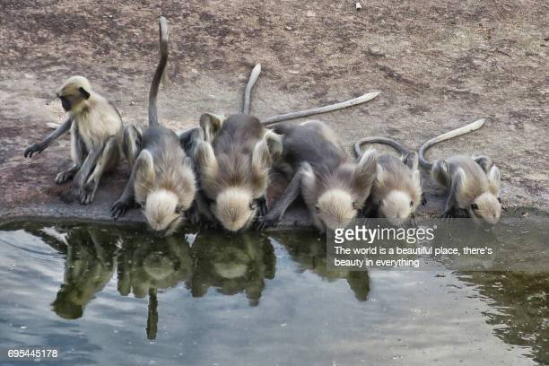 Hanuman family quenching thirst at a stagnant pool in between rocks