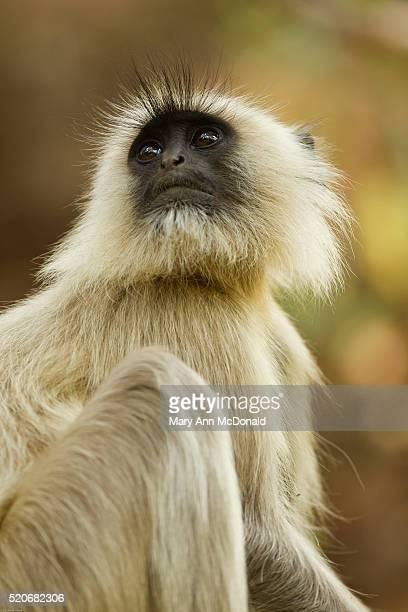 hanuman langur adult - bandhavgarh national park stock pictures, royalty-free photos & images