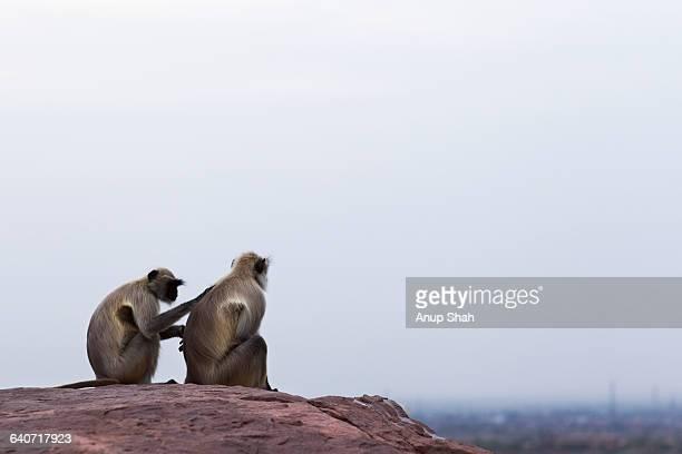 Hanuman Langur females grooming