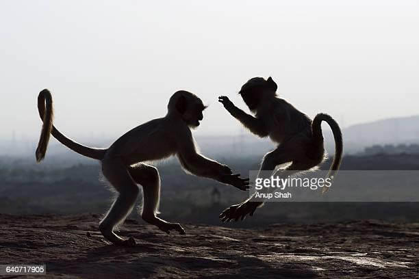 Hanuman Langur juveniles playing