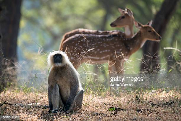Hanuman langur monkey and chital/spotted deer