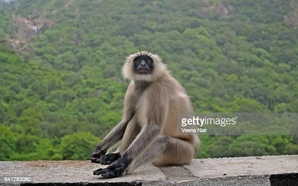 Hanuman Langur / Monkey on the way to Mount Abu