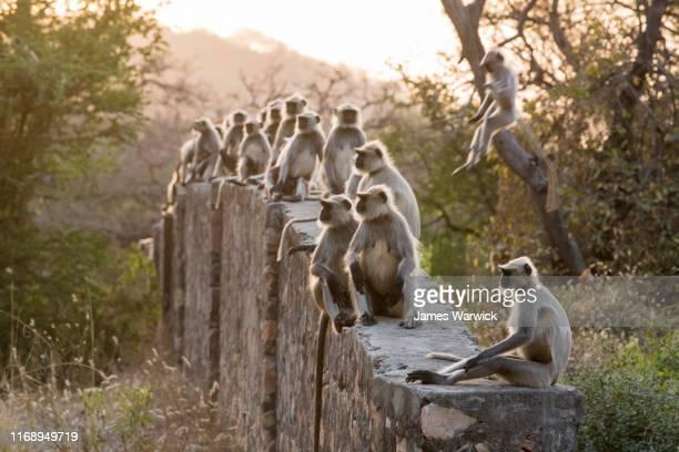 hanuman langur monkeys sitting on wall - ranthambore national park stock pictures, royalty-free photos & images