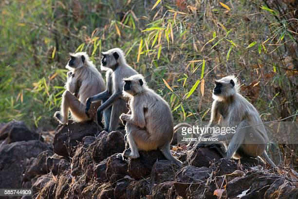 hanuman langur monkeys sunbathing on stone wall - bandhavgarh national park stock pictures, royalty-free photos & images