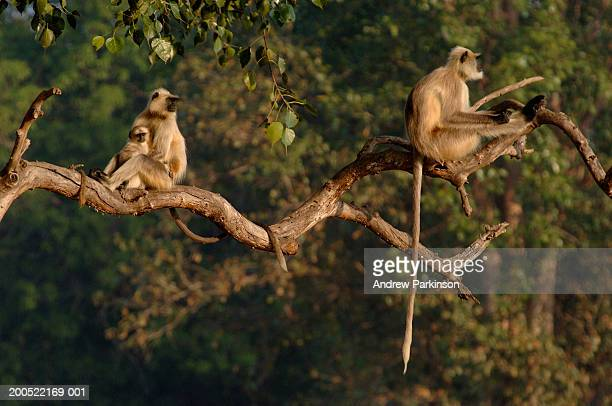 Hanuman langurs (Presbytis entellus) on branch, dawn