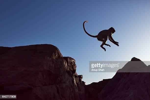Hanuman Langurs playing on cliff tops