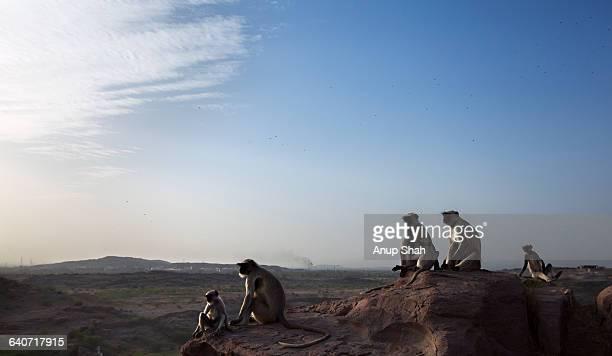 Hanuman Langurs sitting on a cliff top