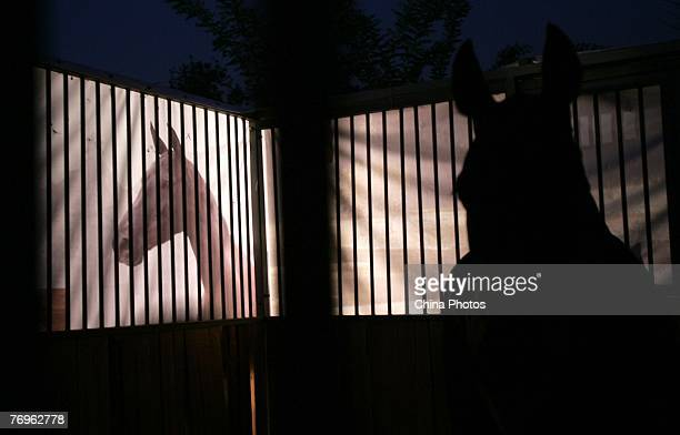 A Hanxue horse imported from Turkmenistan stands in a box before a show on September 22 2007 in Beijing China The Hanxue horse whose name literally...