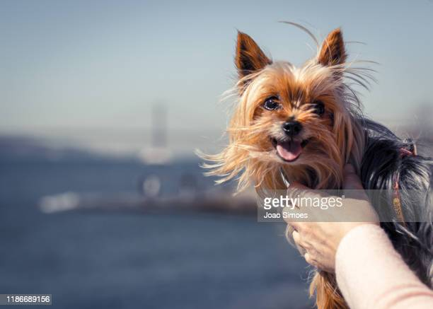 happiest yorkshire held by owner - yorkshire terrier stock pictures, royalty-free photos & images