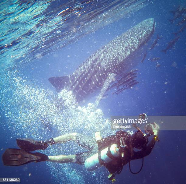 Happiness in Nature: Scuba Diver Enjoying Nature Photographing an Endangered Species Pelagic Whale Shark (Rhincodon types).  The location is Ko Haa Islands, Krabi, Andaman Sea, Thailand.