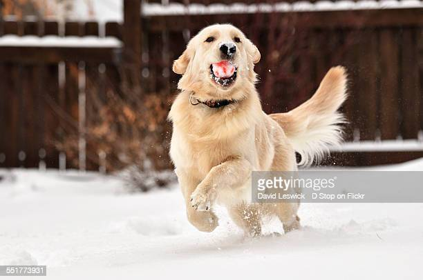 happiness is a retriever in the snow